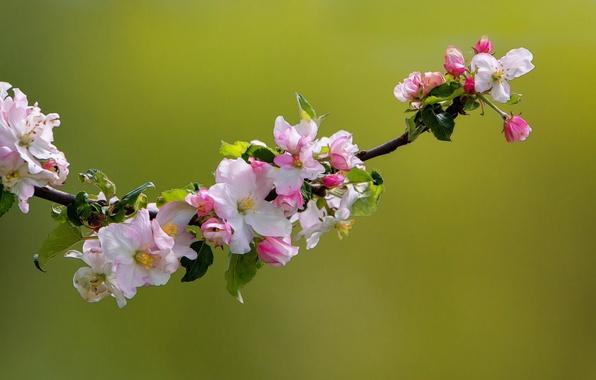 Картинка макро, природа, ветка, весна, яблоня, цветение, цветки