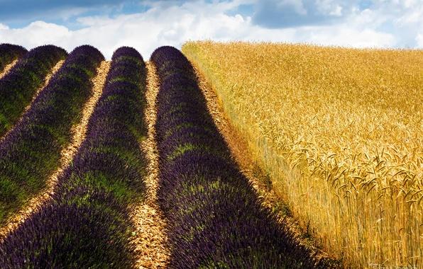 Картинка пшеница, поле, природа, Франция, лаванда