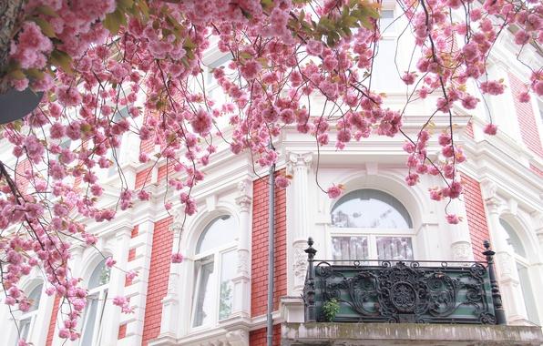 Картинка город, дом, дерево, Франция, Париж, здание, окна, сакура, балкон, Paris, архитектура, цветение, France