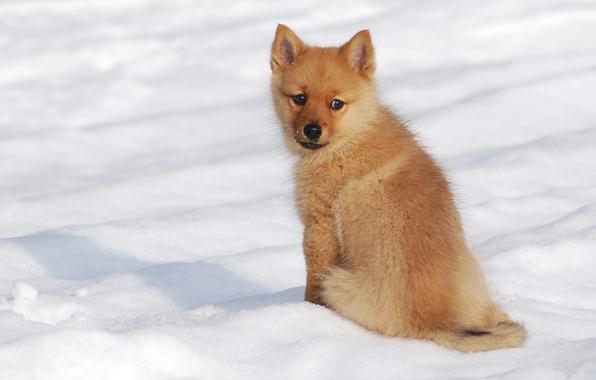 Картинка зима, снег, собака, щенок, Финский шпиц