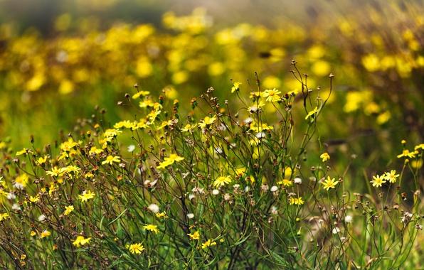 Картинка лето, солнце, цветы, природа, поляна, summer, nature, flowers, sun, meadow