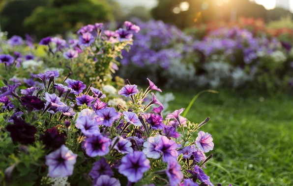 Картинка свет, Цветы, сад, сиреневые, боке, садовые
