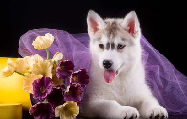 Картинка цветы, щенок, ткань, хаски