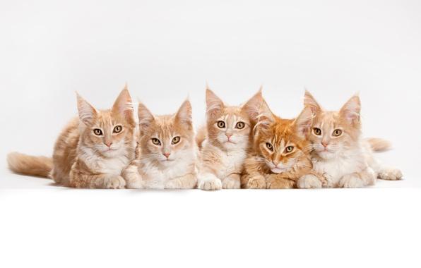 Картинка кот, кошки, котята, белый фон, мейн-кун
