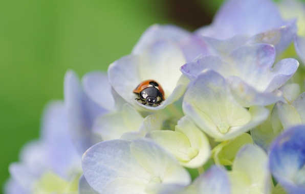 Картинка макро, цветы, растение, божья коровка, жук, лепестки, светлые, насекомое, гортензия