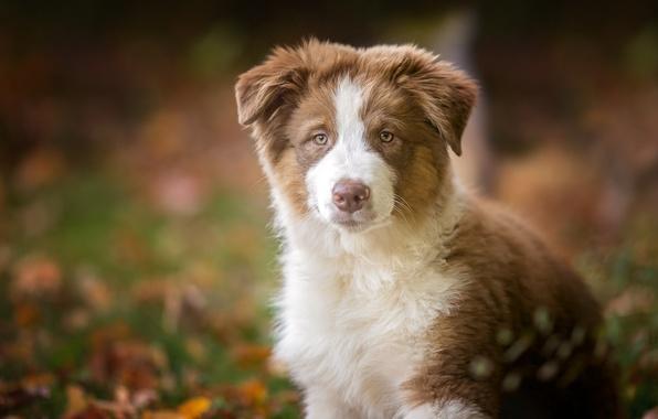 Картинка взгляд, собака, щенок, Австралийская овчарка, Аусси