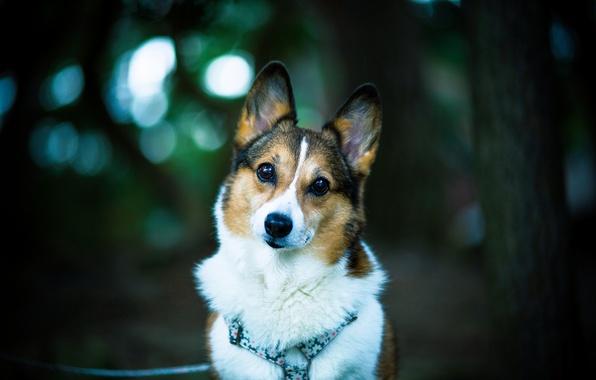 Картинка взгляд, друг, собака, dog, боке, welsh corgi