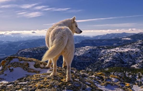 Картинка белый, небо, облака, снег, горы, камни, волк