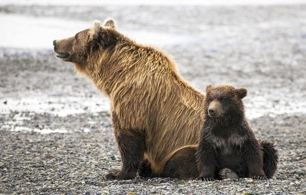 Картинка семья, медведи, медвежонок, медведица, бурые