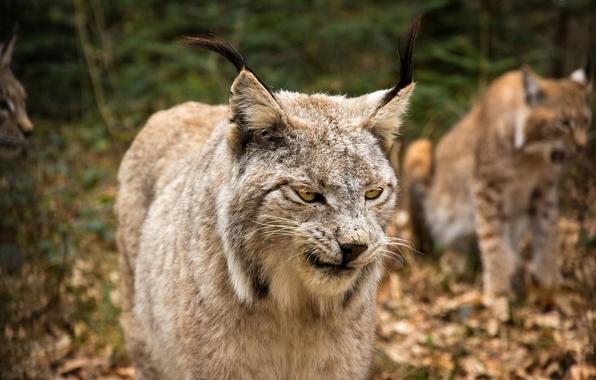 Картинка кошка, взгляд, морда, рысь