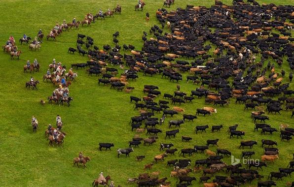 Картинка трава, коровы, пастбище, стадо, Анды, Эквадор