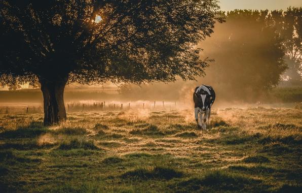 Картинка туман, корова, утро