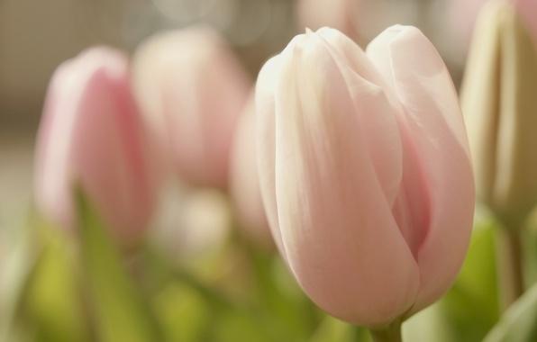 Картинка цветок, макро, цветы, розовый, нежность, весна, бутон, Тюльпан