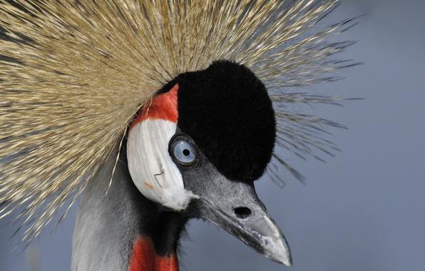 Картинка макро, птица, Grey crowned crane