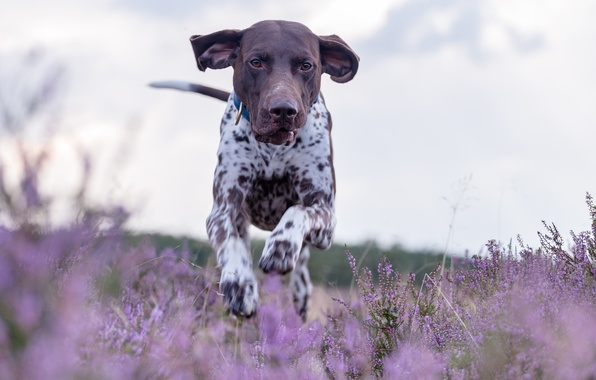 Картинка собака, луг, бег, прогулка, вереск, немецкий пойнтер, курцхаар, немецкая короткошёрстная легавая