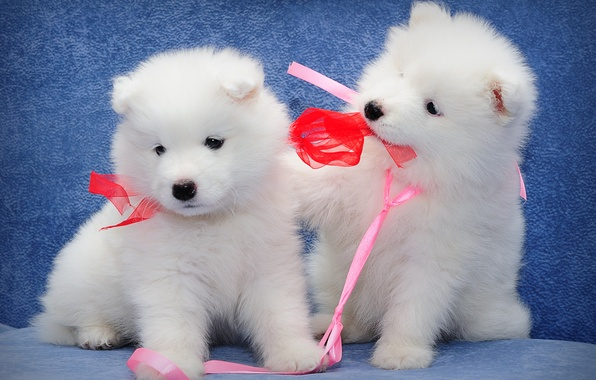 Картинка собаки, щенки, малыши, парочка, самоед