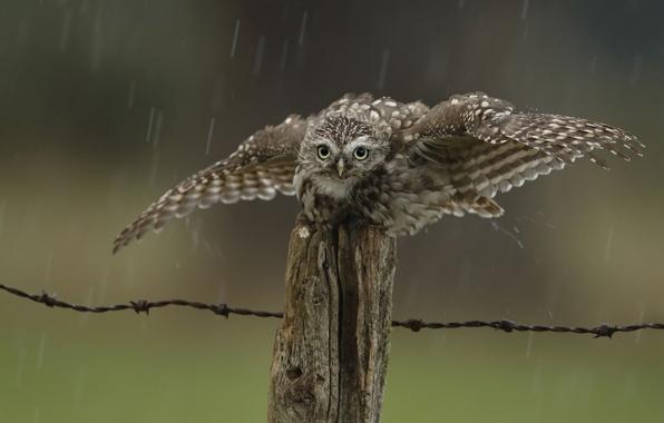 Картинка капли, дождь, сова, птица, забор