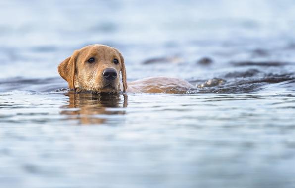 Картинка взгляд, морда, вода, друг, собака