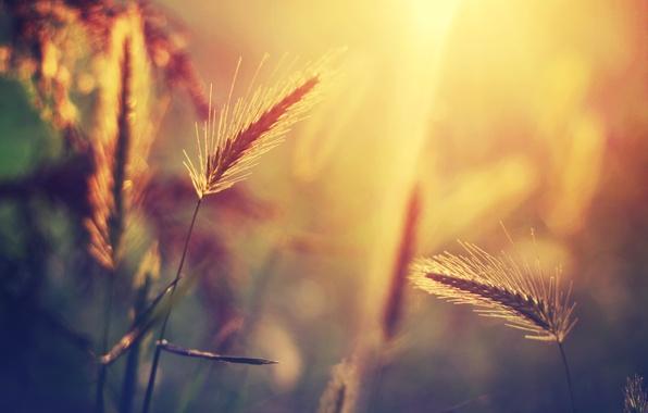 Картинка трава, солнце, макро, свет, блики, растение, размытость, колоски
