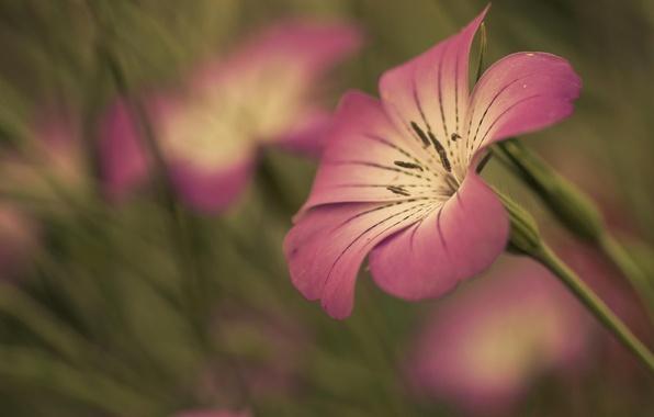 Картинка цветок, цветы, фон, розовый, widescreen, обои, размытие, стебель, лепесток, wallpaper, широкоформатные, background, полноэкранные, HD wallpapers, …