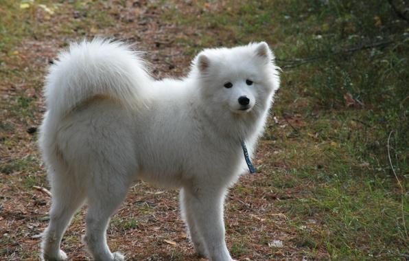 Картинка собаки, фон, собака, белая, прогулка, пушистая, самоед