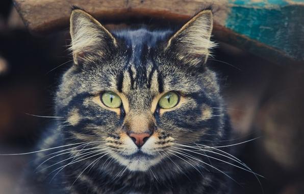 Картинка глаза, кот, усы, взгляд, красавец