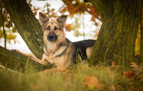 Картинка взгляд, листья, дерево, собака, овчарка, Немецкая овчарка