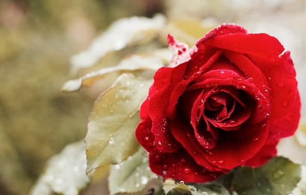 Картинка капли, роза, бутон