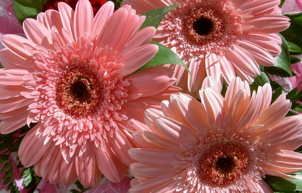 Картинка цветок, цветы, природа, букет, нежные, розовые, герберы, красивые