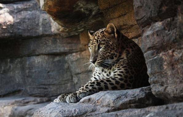 Картинка кошка, скалы, отдых, хищник, леопард