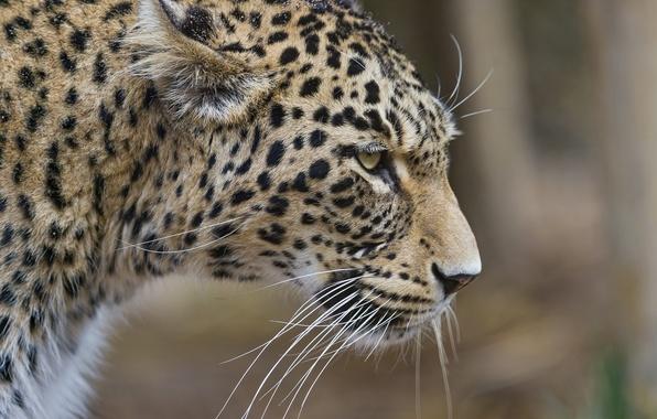 Фото обои кошка, леопард, ©Tambako The Jaguar, профиль, персидский