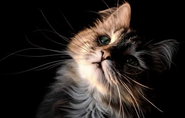 Картинка кошка, кот, усы, взгляд, портрет, мордочка, котёнок, чёрный фон