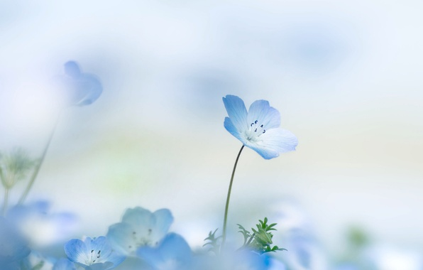 Картинка цветок, лето, фон, лепестки, цветочек, Nemophila