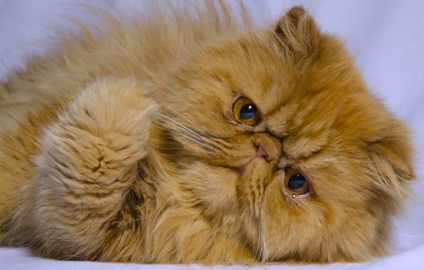 Картинка кот, взгляд, рыжий, мордочка, лапка, рыжий кот, персидская кошка