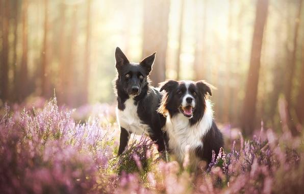 Картинка собаки, природа, парочка, две собаки, бордер-колли, вереск