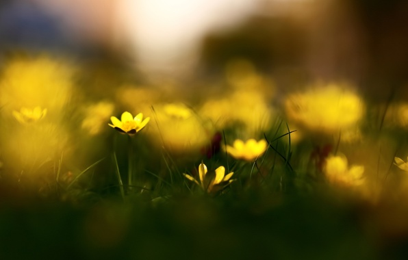 Картинка трава, макро, цветы, природа, весна, размытость, боке, чистотел