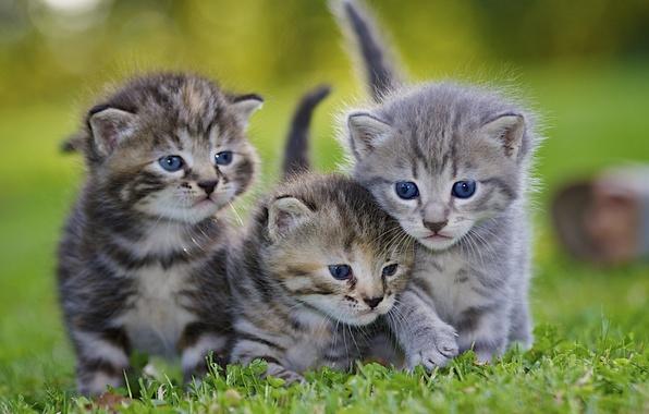 Картинка животные, трава, газон, котята, серые