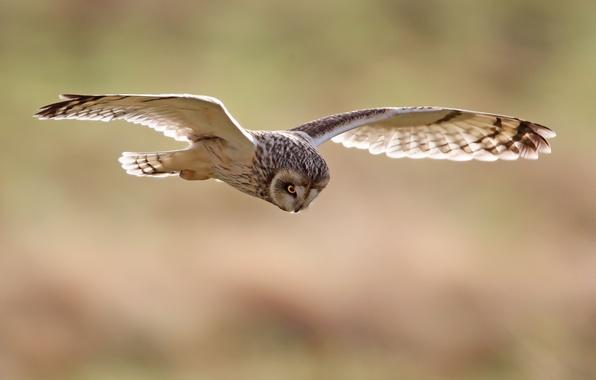Картинка птицы, природа, сова, птица, крылья, полёт, размах, неясыть