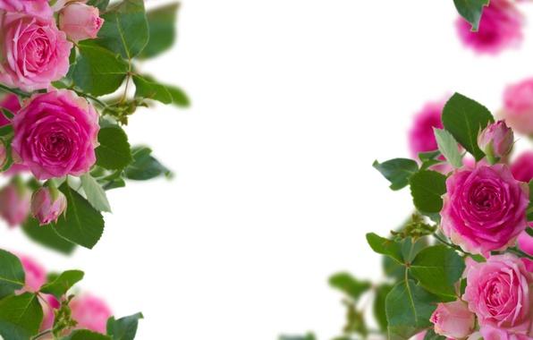 Картинка цветы, розы, бутоны, цветение, flowers, roses, blooming, the buds