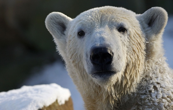 Картинка взгляд, белый медведь, polar bear