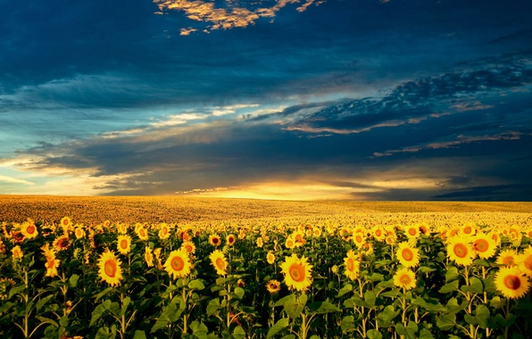 Картинка лето, солнце, природа, подсолнух