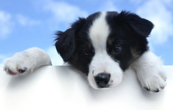 Картинка небо, глаза, взгляд, морда, Собака, лапы