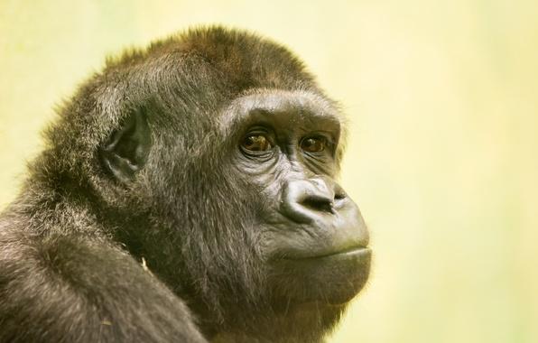 Картинка взгляд, природа, обезьяна, Gorilla