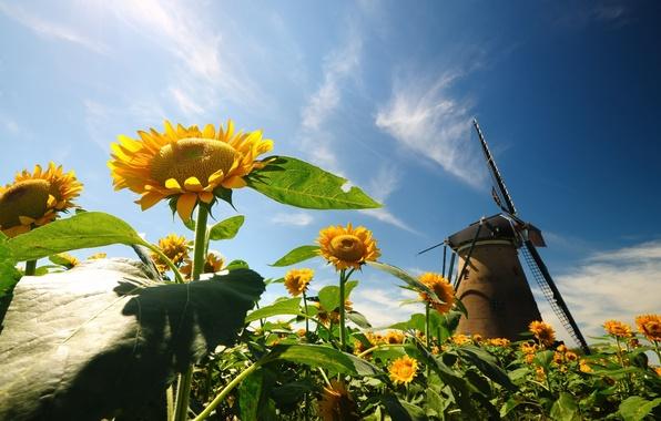 Картинка небо, листья, цветы, природа, фон, widescreen, обои, подсолнух, мельница, wallpaper, цветочки, nature, широкоформатные, flowers, background, …