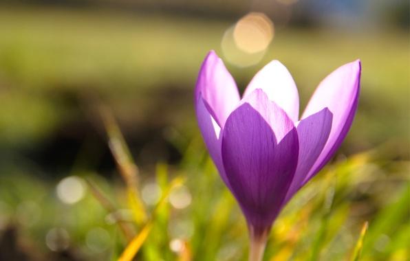 Картинка трава, макро, блики, сиреневый, весна, размытость, Крокус