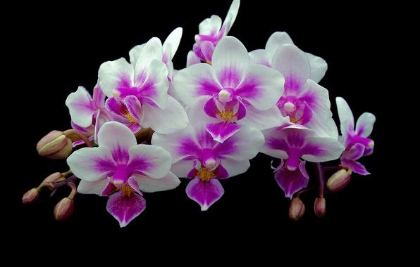 Картинка фон, ветка, лепестки, орхидея