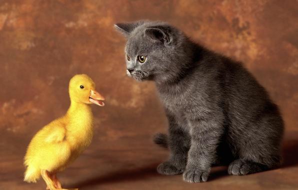 Картинка кошка, кот, пара, котёнок, друзья, утёнок