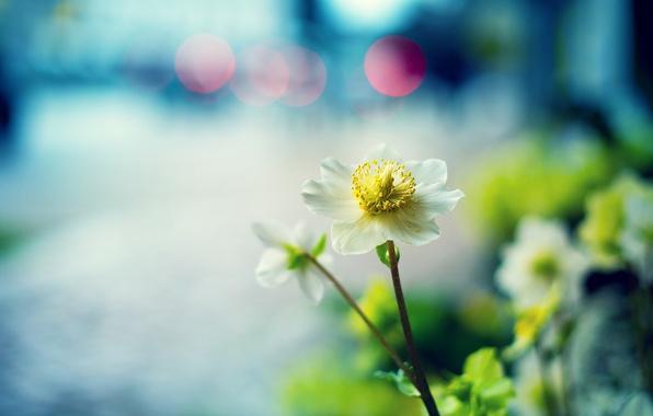 Картинка макро, цветы, фокус, белые