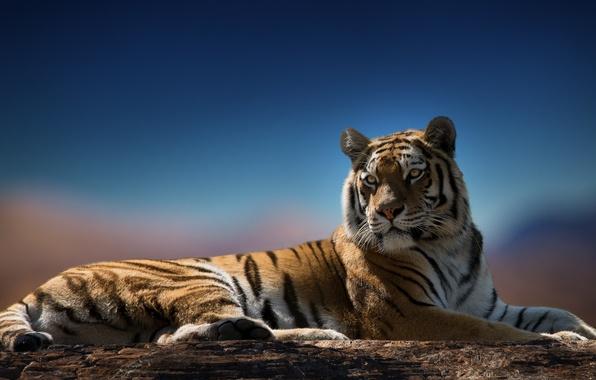 Картинка взгляд, тигр, хищник, окрас