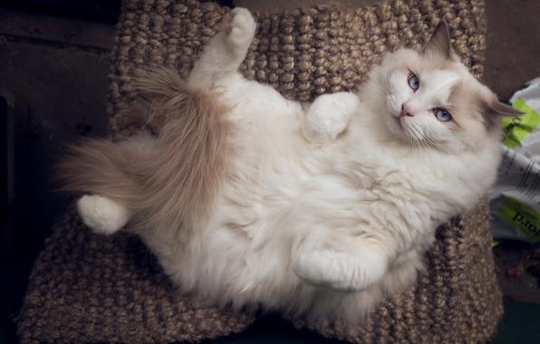 Картинка кошка, кот, релакс, расслабон, Рэгдолл
